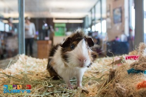 Guinea Pig  | Dubey's Pet World