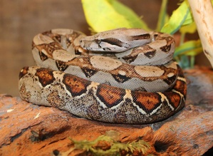 Red Tail Boa | Dubey's pet world