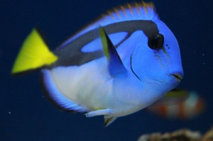 Blue Hippo Tang  | Dubey's Pet World